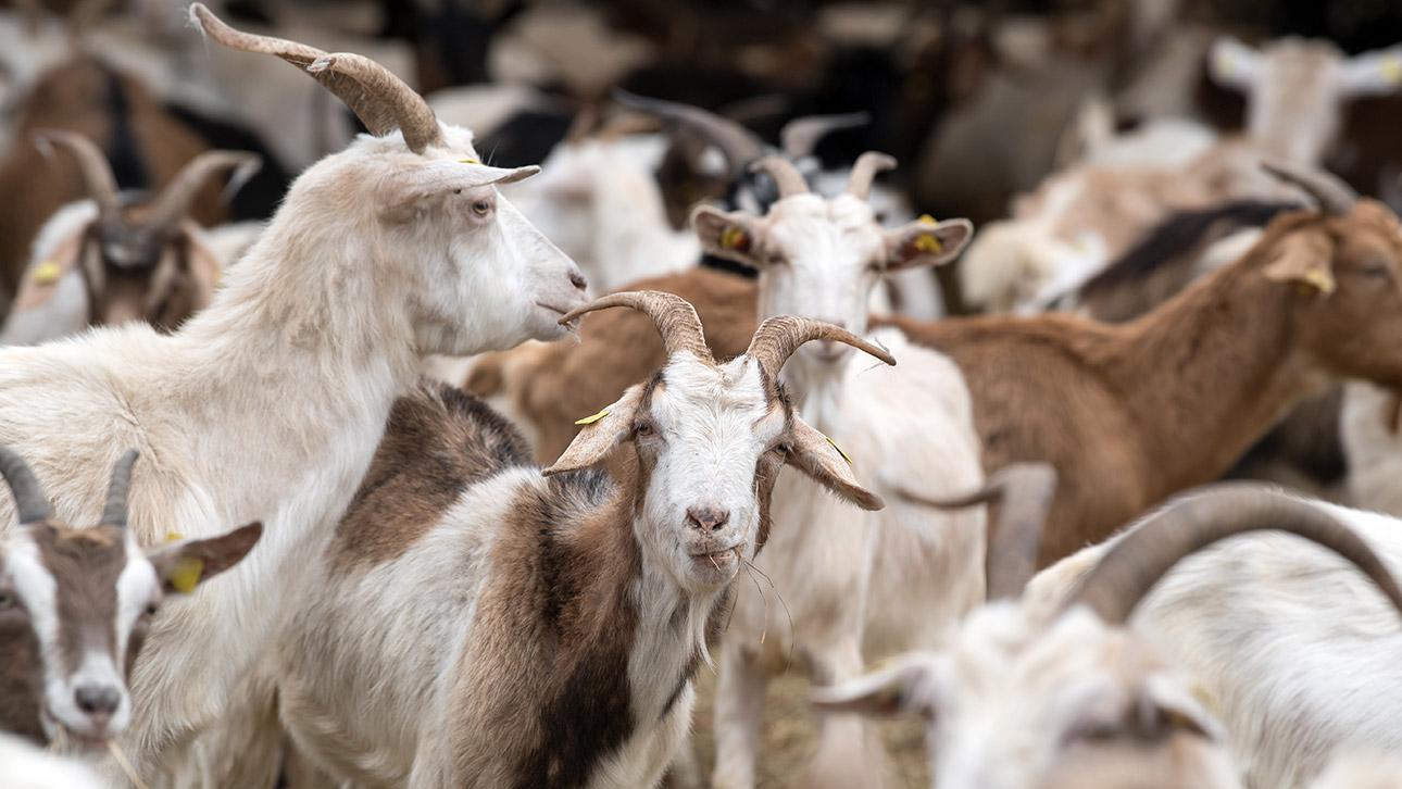 Mehr Schafe, weniger Schäfer
